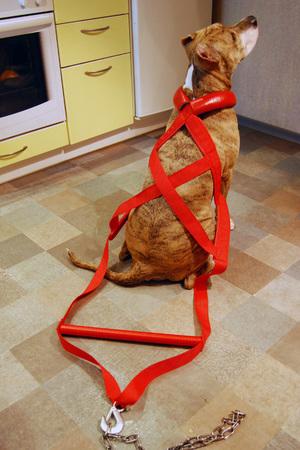 Как сделать шлейку для собаки